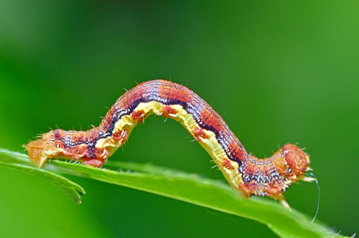 kozzi-colorful caterpillar-886x586