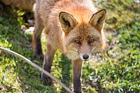 kozzi-8951159-Red fox Vulpes vulpes-1773x1184