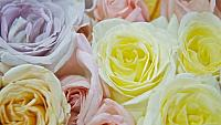 kozzi-roses weddings-961x540