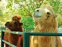 Bactrian Camels 2
