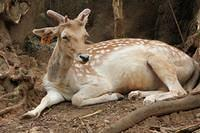 white spotted deer