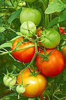 kozzi-2047034-red and green tomatoes in greenhouse-1591x2387